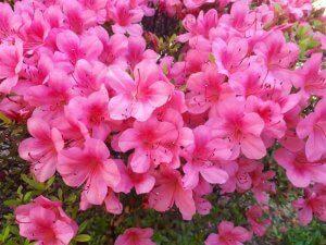 さつき キレイに咲いていました。